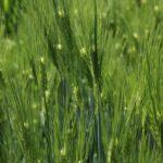 のづた里山の家 「畑の学校/麦の脱穀と麦茶づくり」